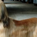 Meet the Breeds: Afghan Hound