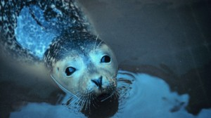 Avian Flu Outbreak In Seals Poses Threat to Humans