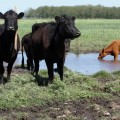 FDA Recommends Farmers Avoid Certain Antibiotics in Livestock