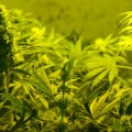 NY Governor to Allow Dispensation of Medical Marijuana