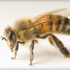 Substance in Bee Venom Could Inhibit Cancer Growth
