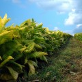 "Tobacco ""Plantibodies"" Show Success in Treatment of Ebola"