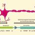 Artificial Neuron Replicates Biochemical Communication in the Brain
