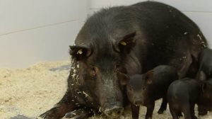 Recombinetics Bets Farm on Pigs for Future Cancer Cures