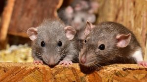 mouse mice parkinsons dystonia, ataxia, tremors