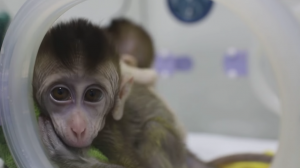 Scientists in China Create Five Clones from Gene-Edited Monkey