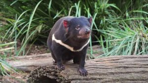 Can We Save Tasmanian Devils from Contagious Cancer?